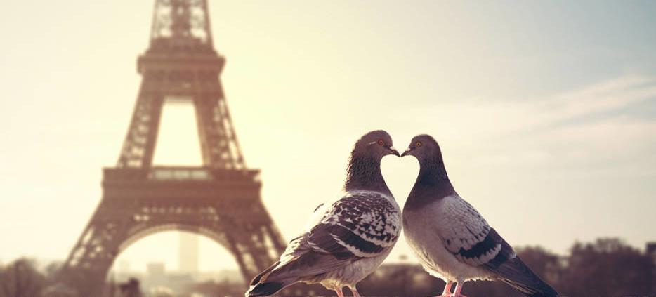 deux pigeons qui s'embrassent devant la tour eiffel
